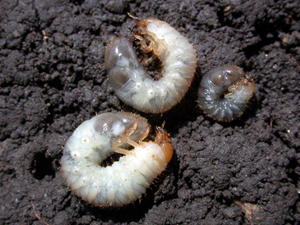 grub control, Japanese beetles, spiders, fleas, ticks, treatments, akron ohio, canton ohio, north canton ohio, lawn care, lawn service, akron canton lawn care, akron oh turf care